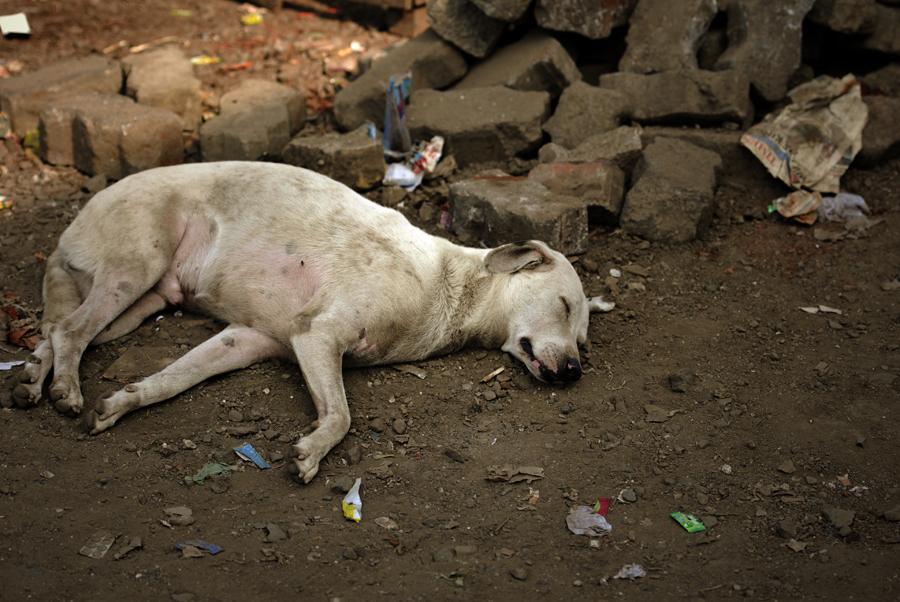 Street Dogs of India (Mumbai)